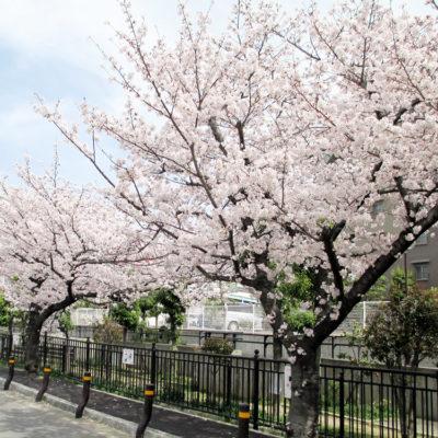 クリニック前の桜
